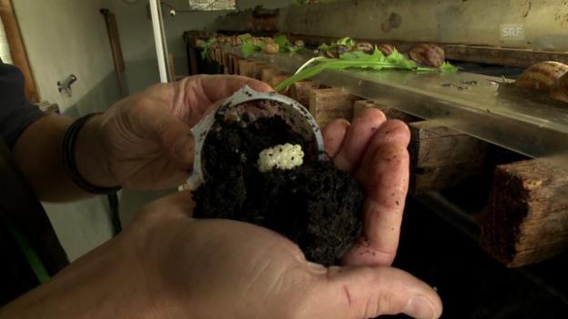 Video «Schnecken-Kaviar» abspielen