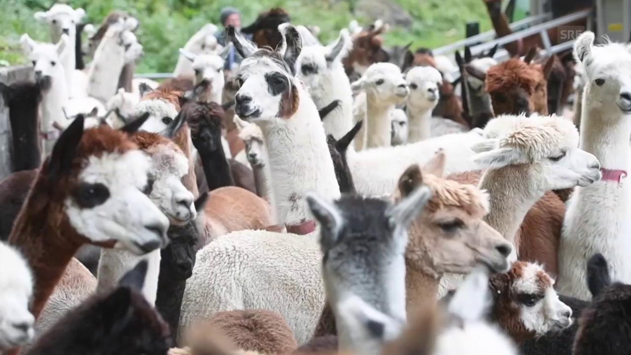 Alpabzug der Lamas und Alpakas