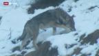 Video «Jagd auf den Wolf» abspielen