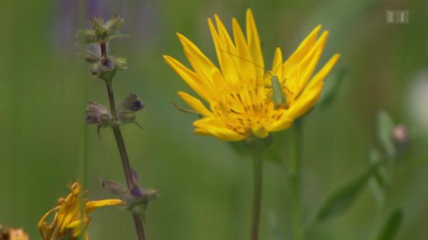 Video «Die Feldgrille braucht Magerwiesen» abspielen