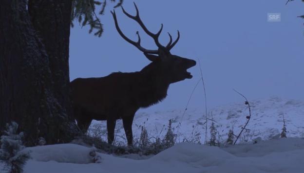 Video «Rothirsch im Schweizerischen Nationalpark» abspielen