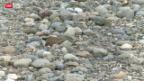Video «Seltene Vögel brüten auf Grossbaustelle» abspielen