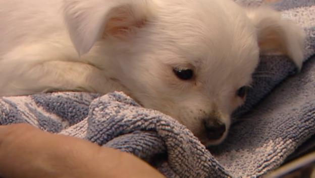 Video «Hundehändler: Geschäft mit todkranken Tieren» abspielen