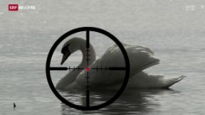 Video «Werden bald Schwäne abgeschossen?» abspielen
