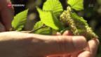 Video «Pollenplage» abspielen