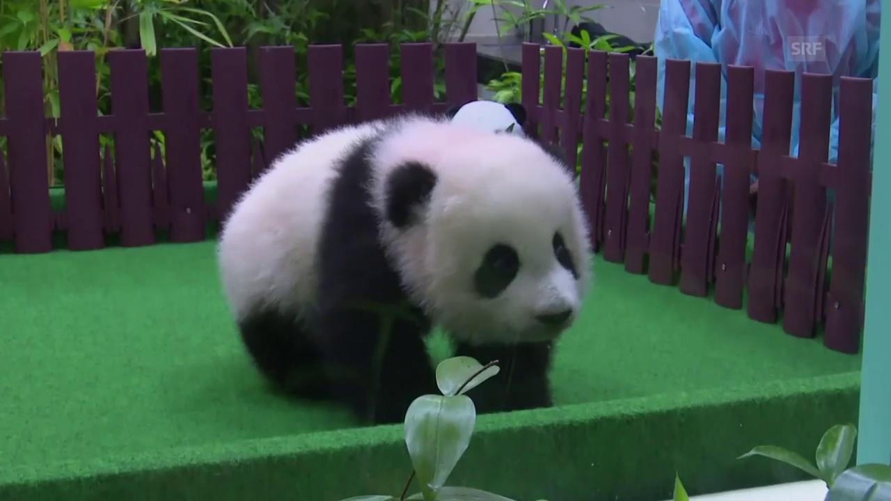 Der kleine Panda erkundet seine Umgebung