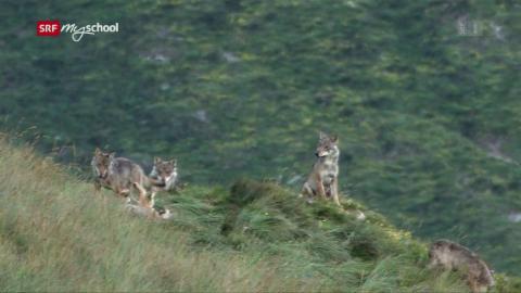 Wolf: Woher kommt die Angst vor Wölfen? (3/3)