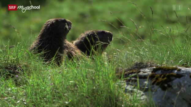 Video «Murmeltiere: Zwerge mit Pfiff – Alpzeiten (2/3)» abspielen