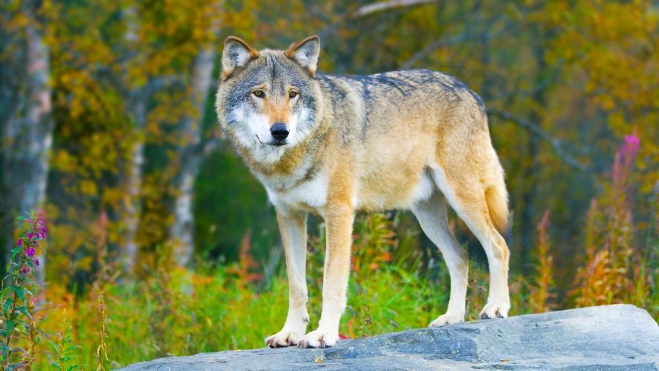 Regeln zur Regulierung von Wölfen lockern