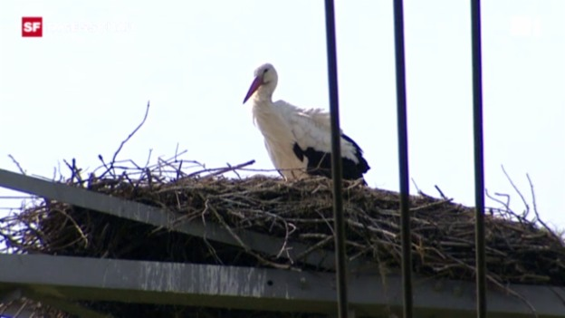 Video «2011: Stromausfall wegen Storch in Holland» abspielen