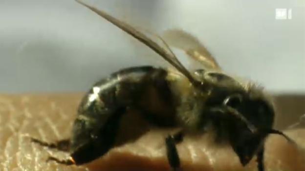 Video «Mikrowelt: Der Bienen-Stich» abspielen