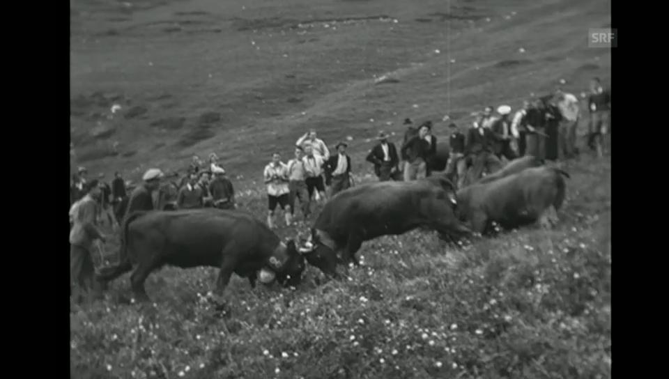 Eringer Kuhkämpfe in der Filmwochenschau von 1943