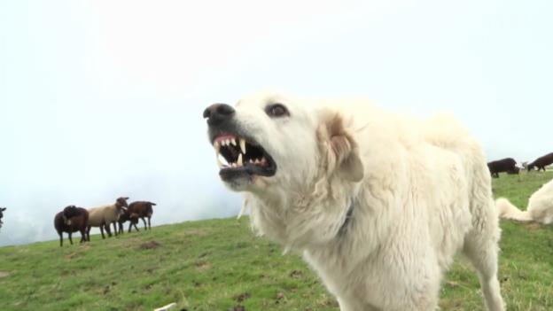 Video «Herdenschutzhunde vertreiben Wolf und Wanderer» abspielen