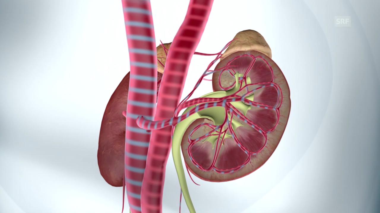 Ohne Nieren geht es auf Dauer nicht
