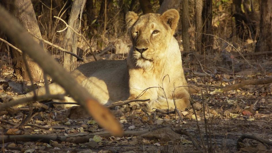Video «Im Reich der indischen Löwen» abspielen