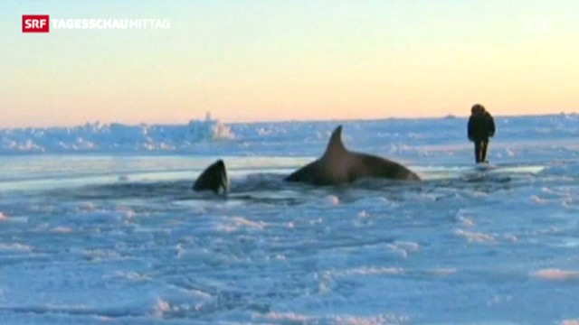 Gefangen im Eis: Schwertwalen droht Erstickungstod