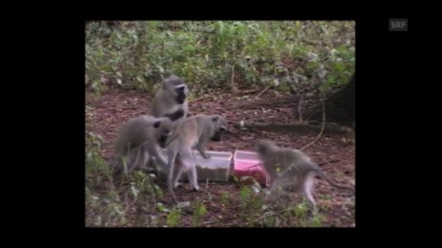 Video «Essen, was den Artgenossen schmeckt (Experiment-Video)» abspielen