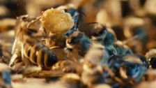 Video «Die Geburt der Bienenkönigin» abspielen