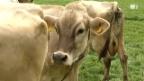 Video «Wie die Rinder das Klima beeinflussen» abspielen