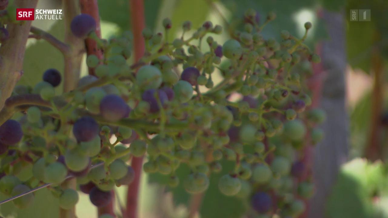 Spritzmittel zerstört Weintrauben