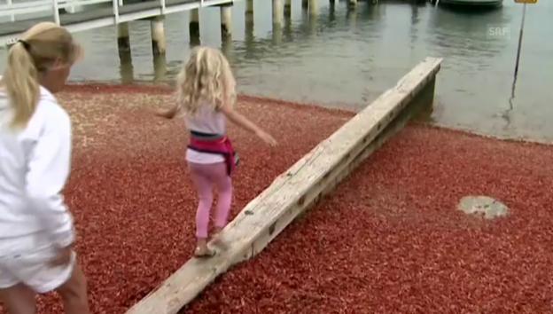 Video «Tausende Krabben (unkommentiert)» abspielen
