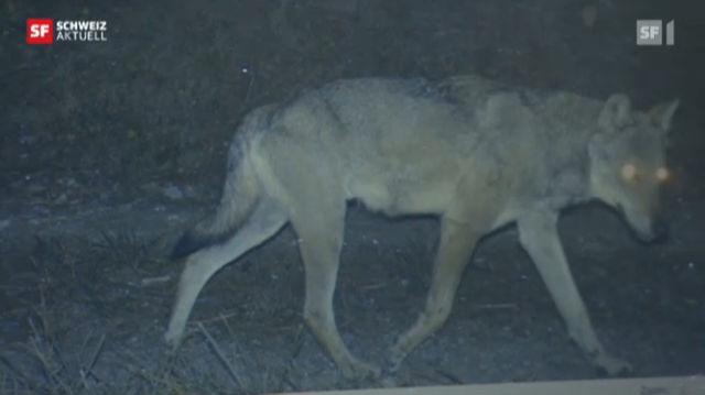 Wolfsfamilie im Bündnerland
