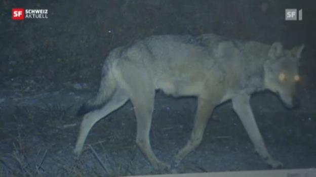 Video «Wolfsfamilie im Bündnerland» abspielen