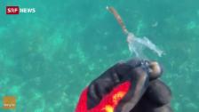 Link öffnet eine Lightbox. Video Seepferdchen hält Plastik für Pflanze abspielen