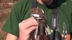 Video «Den Vogeljägern ins Netz gegangen» abspielen