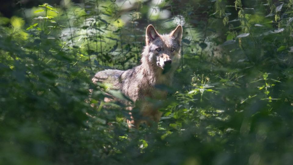 Um einen Wolf aus einem Rudel zu schiessen, braucht es die Bewilligung des Bundes