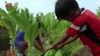 Video «Schädliche Kinderarbeit auf indonesischen Tabakplantagen» abspielen
