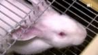 Video «Kaninchen aus Ungarn: Immer noch Quälfleisch?» abspielen
