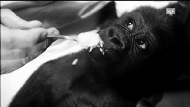 Video «Zoodirektor und Gorilla-Baby (Schweizer Filmwochenschau, 1959)» abspielen
