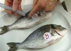 Video «Frischer Fisch muss auf den Tisch» abspielen