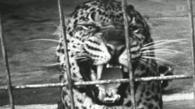 Video «Zürcher Zoo» abspielen