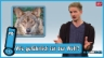 Video «Wie gefährlich ist der Wolf?» abspielen