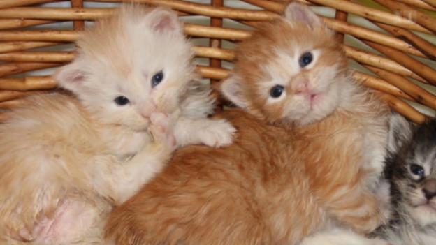 Video «Vierbeiner im Internet: Züchter bieten kranke Tiere an» abspielen