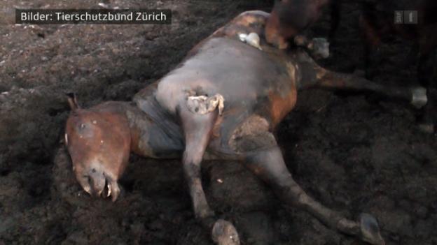 Video «11.03.14: Pferdefleisch: Wieder Quälfleisch auf unseren Tellern» abspielen