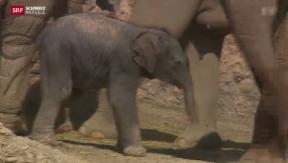 Video «Nachwuchs im Elefantenpark Zürich » abspielen