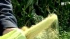 Video «Mit Mais gegen Bomben» abspielen