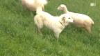 Video «Herdenschutzhunde im Verhaltenstest» abspielen