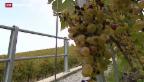 Video «Fliegenplage im Waadtländer Lavaux» abspielen