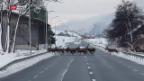 Video «Wildwechsel gefährdet Verkehr» abspielen
