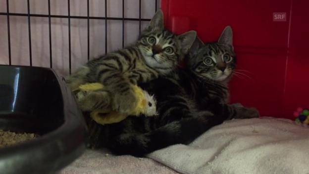 Video «100 Katzen im Freiburger Tierheim» abspielen