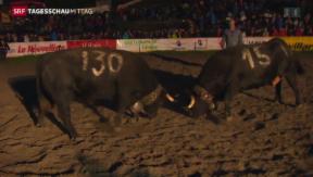 Video «Kämpfende Kühe bewiesen Ausdauer» abspielen