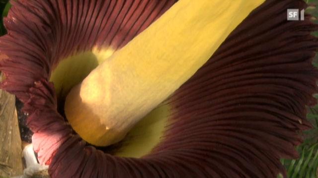 Stinkpflanze Titanwurz