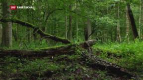 Video «Der letzte Urwald» abspielen