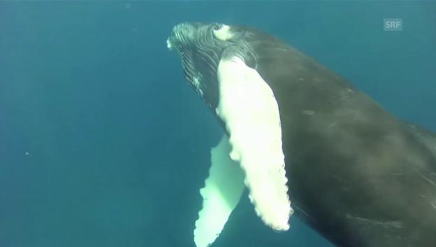 Video «Buckelwale nah beobachtet (unkommentiert)» abspielen