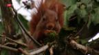 Video «Eichhörnchen gesucht» abspielen