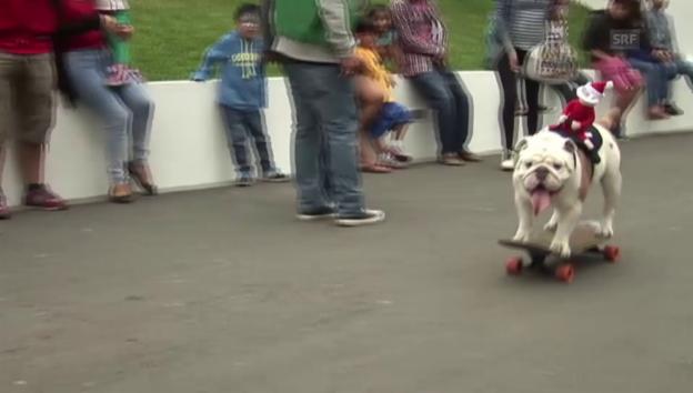 Video «Bulldogge gelingt Skater-Weltrekord» abspielen